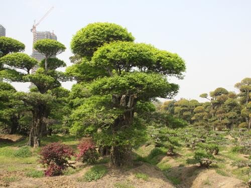景观大树_嘉汉城市生态苗木(苏州)有限公司