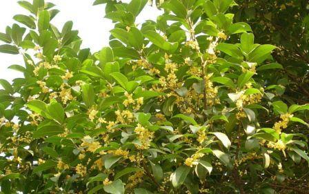 繁茂的桂花树,大片大片的绿叶下缀满了一簇簇米黄色的小花,小小的花却